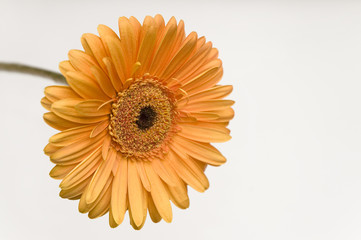 Orange gerbera isolated on white