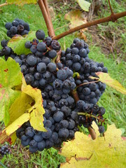 Red wine grapes in