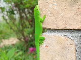 gecko vert phelsuma madagascariensis grandis sur brique poster