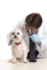 A veterinarian inspects a pet dogs ears during a checkup