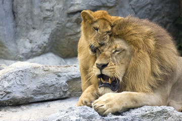 big lion with little cub