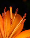Fototapete Pflanze - Orange - Blume