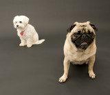 Sitting Pug and Maltese poster