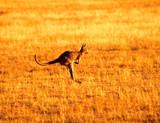 Fototapeta Australijska - piękny - Dziki Ssak