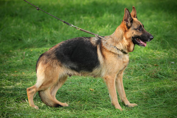 German shepherd on a leash