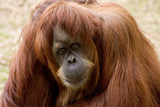 Female Orangutan Ape Looking into Your Eyes