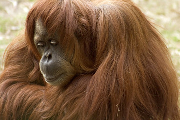 Shy Orangutan Female