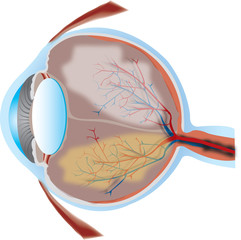 eye illustration with cross section view - good detail