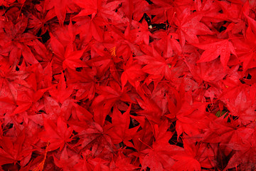 Red maple leaves fallen to the ground