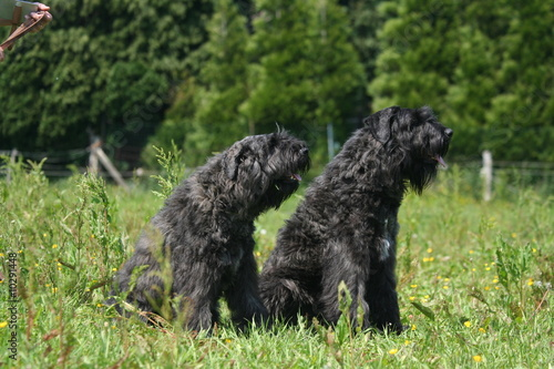 Couple de Bouviers des Flandres assis de profil