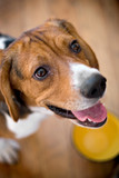 A young beagle eagerly awaits his food -shallow depth of field