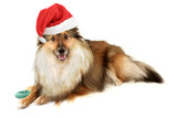 beautiful furry purebred Shetland Sheepdog (Sheltie) poster