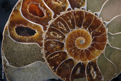 Closeup of Ammonite