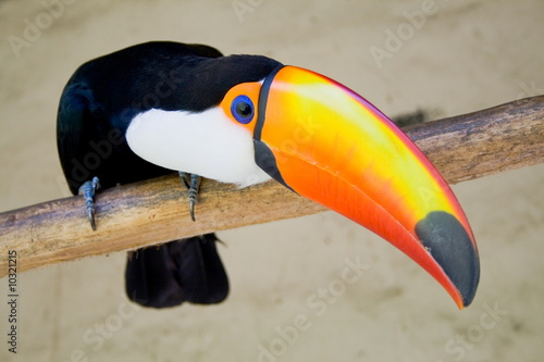 Foto op Canvas Toekan toucan bird