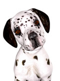 A cute dalmatian puppy isolated on white. poster