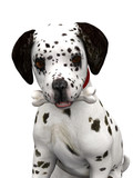 A cute dalmatian puppy with a bone in his mouth. poster