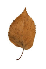 brown leaf over a white background.
