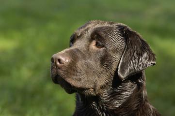 chien, Labrador