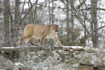 Cougar walking on ridge line in snowfall. Northern Minnesota
