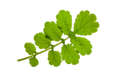 green branch of celandine isolated on a white background
