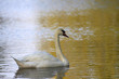 Gracefull swan on a lake in autumn day.