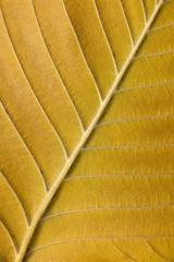 Ulmenblatt Herbstfärbung