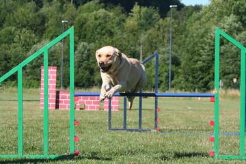 labrador pratiquant le saut en hauteur