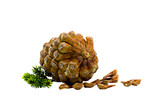Ripened cone of a cedar Himalaya with seeds poster