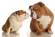 two english bulldog kissing isolated on white background