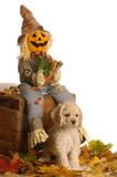 american cocker spaniel puppy in autumn scene poster