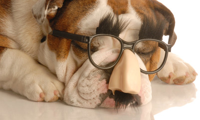 english bulldog wearing funny groucho marx glasses