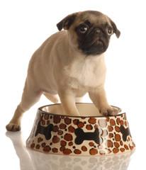 pug puppy in empty food dish
