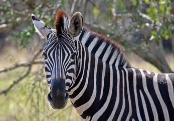 Zebra, Steppenzebra, Südafrika