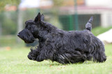 scottish terrier en pleine course