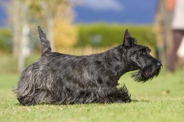 scottish terrier en train de flairer