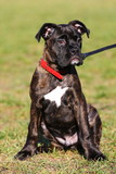 brindle boxer puppy sitting on grass poster