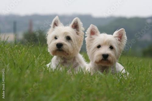duo de westie allongés dans l'herbe
