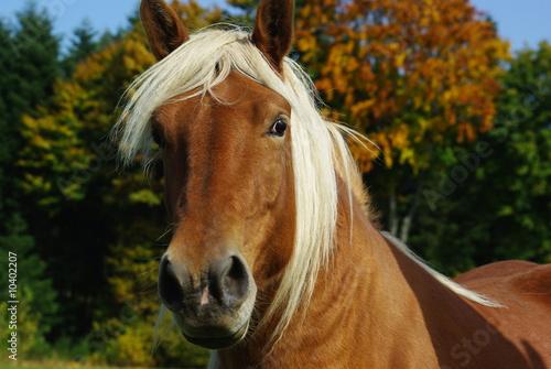 Fototapeten,pferd,tier,kopf,braun