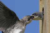 Mother Tree Swallow feeding her hungry baby poster