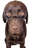 Clever Looking Dog Looking over Glasses poster