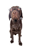 Intelligent Dog in Glasses Looking Up poster