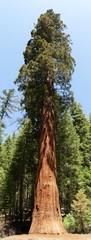 Sequoia Tree / Mammutbaum
