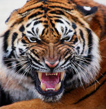 Fototapeta close up tiger's face bare teeth Tiger Panthera tigris altaica