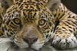 Big cat jaguar looking at the camera