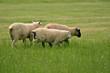 Sheep grazing on lush green pasture