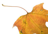 autumn leaf in color with lots of scars poster