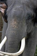 close-up of a furious indian elephant