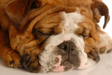 cute english bulldog sleeping with lots of wrinkles poster