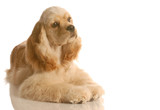 american cocker spaniel puppy laying down poster