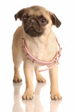 fawn pug puppy with pink collar that is too big poster